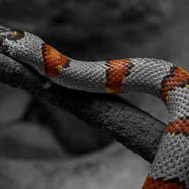 Snake by Linda McBride - Animals Reptiles ( snake, pwc, selective color )