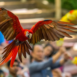 Parrot Show by Shin Yee - Animals Birds ( bird, park, jurong bird park, parrot, singapore )