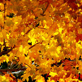 Autumn Gold by Diana Fay - Nature Up Close Leaves & Grasses