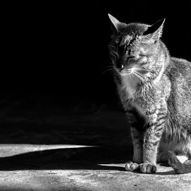 The Cat by Felix Daogas - Animals - Cats Kittens ( cat )