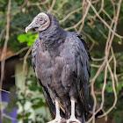 Urubu-de-cabeça-preta(Black Vulture)