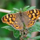 Speckled Wood; Mariposa de los Muros