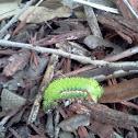 Io Moth (caterpillar)