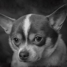 Unconditional Love by Tracey Taylor - Animals - Dogs Portraits ( love, doggy, sad, puppy, cute, chihuahua, dog )
