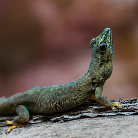 Standings day gecko by Renos Hadjikyriacou - Animals Reptiles (  )