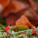 British soldier lichen