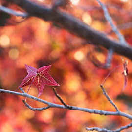 Autumn Bokeh by Angel McNall - Nature Up Close Leaves & Grasses ( red leaf, fall colors, orange leaves, thanksgiving, autumn colors, leaves, bokeh, fall folliage,  )