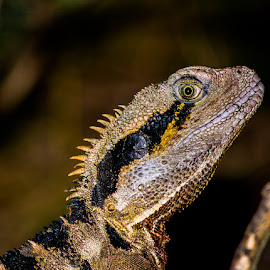 Water Dragon by Troy Carroll - Animals Reptiles