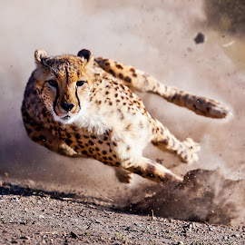 Moyo by Susan Koppel - Animals Lions, Tigers & Big Cats ( cheetah, reno, speed, nevada, animal ark )