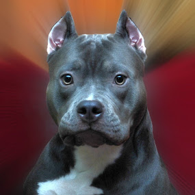 Pit Bull Pride by Karen Hardman - Animals - Dogs Portraits ( animals, dogs, pit bull, blue nose,  )