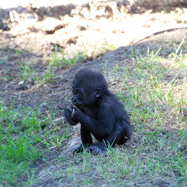 Baby Gorilla by Wade Tregaskis - Animals Other Mammals ( eating, gorilla, baby )