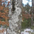 Green Shield Lichen
