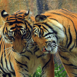 love by Mh Gandung - Animals Lions, Tigers & Big Cats ( #tiger )