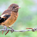 The pied bush chat (female)