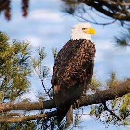 Eagle by Carmen Arrigo - Novices Only Wildlife ( bird, eagle, © arrigo images, animal,  )