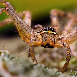 Huntsman Spider (nymp) by Percy (ReverseLensOnlyMacroPhotography) - Animals Insects & Spiders