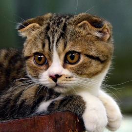 by Neni Wijaya - Animals - Cats Portraits ( cat, purnama, ciketing, animal )