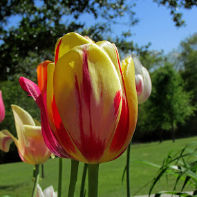 pretty by Jamie Hodge - Flowers Single Flower ( tulip, pinl, yellow, flowers )