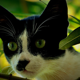 Curious Cat by Vijayanand K - Animals - Cats Playing ( cat face, cat, curious cat, black cat, animal )