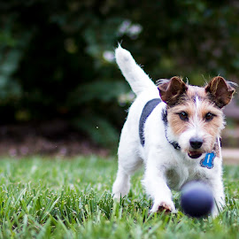 My Ball by Shawn Klawitter - Animals - Dogs Playing ( playing, animals, jack russell terrier, pet, dog )