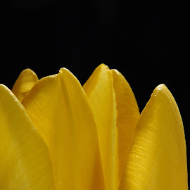 Yellow Tulip by Diana Desrocher - Abstract Macro ( macro, background, tulip, yellow, black, closeup, close, up,  )