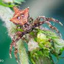 Thorny crab spider