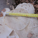 Porcelain Fungus ( ripe specimen )