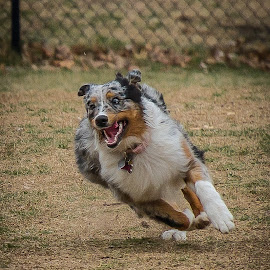 Aussie by Ron Meyers - Animals - Dogs Running