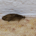 Lacewing of Caddisfly?