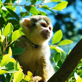 Phoenix Zoo Monkey Village Spider Monkey by Donna Probasco - Novices Only Wildlife (  )