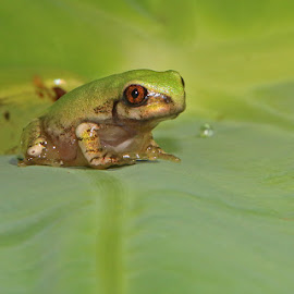 Green Frog by David Knox-Whitehead - Animals Amphibians ( frog, green, amphibian, leaf, eyes )