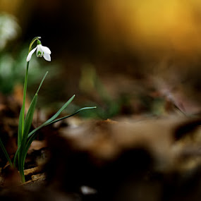 Snowdrop by Jiří Míchal - Flowers Flowers in the Wild ( snowdrop, spring, flower )