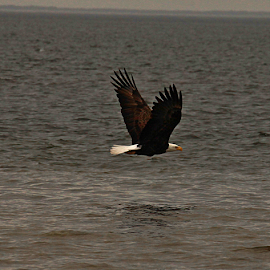 Eagle in Flight by Jim Powell - Animals Birds ( suwannee river, gulf of mexico, james' photo )