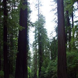 Redwood Forest by Ken Miller - Landscapes Forests ( national park, california, forest, road, landscape, redwood forest )
