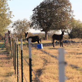 A Pair Of Asses by Chris Everett - Animals Horses ( field, fence, nature, donkeys, country,  )
