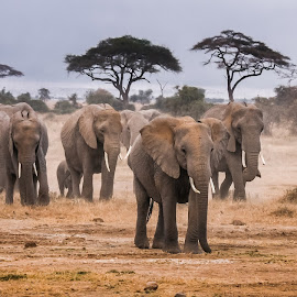 Herd of Elephants approaching  by Wim Moons - Animals Other Mammals ( elephant, kenya, wildlife, mamal, africa )
