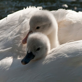 Baby Swans by Peter Andrusyszyn - Animals Birds ( photo by pete andrusyszyn, swans, manlius )