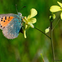 Provence Hairstreak, Cardenillo