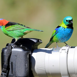 Tanagers!++ by Itamar Campos - Animals Birds ( red-necked tanager, saíra sete cores, green headed tanager, saíra militar )