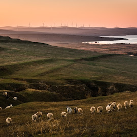 Sunset above Enisala by Lupu Radu - Landscapes Prairies, Meadows & Fields ( windpower, sheeps, enisala, sunset, dobrogea, fields, fall, color, colorful, nature )