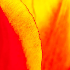 Intermixing of Colours by Garry Dosa - Abstract Macro ( colour, abstract, macro, red, tulip, yellow, spring, flower,  )