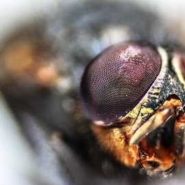Horsefly by Amir Hosein Ahmadi - Novices Only Macro ( canon, macro, macro photography, fly, horsefly, close up, eyes )