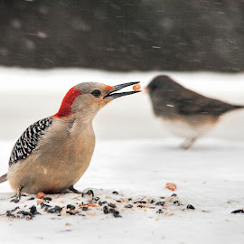 I've got it - and you don't.... by Deborah Felmey - Animals Birds ( bird, snow, eating, woodpecker )