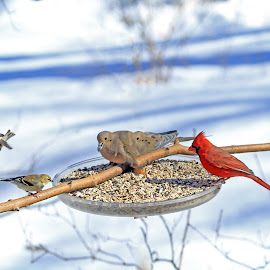 Winter Flight by Steve Shelasky - Animals Birds ( winter, mourning dove goldfinch feeder, birds, cardinals,  )