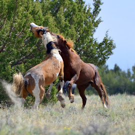 Wild Stallions fighting over a Mare. by Carolyn Edson - Animals Horses ( wild horse, mustang, wild mustang, horse, wild mustang horse fight )