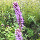 Thick blazing star