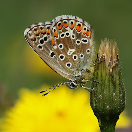 beautiful argus by Ld Turizem - Animals Insects & Spiders