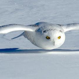 How Low Can You Go? by Mark Nicholson - Animals Birds ( flight, mark nicholson, glide, immature snowy owl, approach, snowy owl, bird in flight,  )
