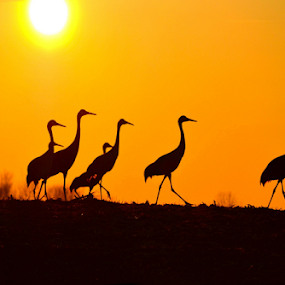 Hold up!..There's somethin' in my eye!  by Julie Dant - Animals Birds ( large birds, migrations, flocks, sunsets, sand hill cranes birds, safari, africa, , colorful, mood factory, vibrant, happiness, January, moods, emotions, inspiration )
