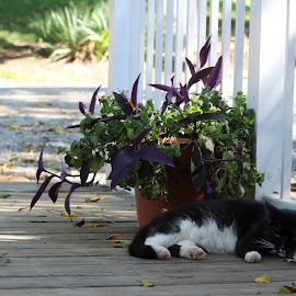 Afternoon Nap by Kevin Wright - Novices Only Pets ( fence, cat, nap, cemetery, flower, lynchburg )